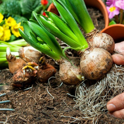 «Луковичные» растения