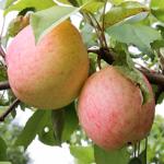 Мечта - летний сорт яблони