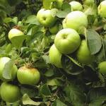 Антоновка обыкновенная - раннезимний сорт яблони