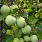 Папироянтарное - летний сорт яблони