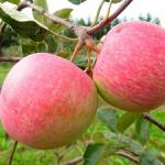 Грушовка московская – раннеспелый сорт яблони