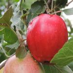 Пепин Шафранный - позднеспелый зимний сорт яблони