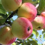 Солнцедар - летний сорт яблони