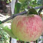 Бузовьязовское - осенний сорт яблони