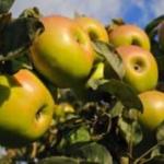 Кушнаренковское - осенний сорт яблони